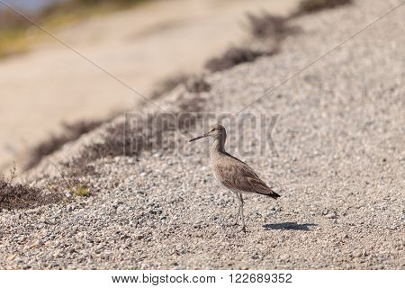 Long billed Dowitcher shorebird called Limnodromus scolopaceus foraging along the shoreline of a Southern California marsh