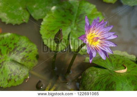 Purple Star Lotus in a pond with lilypads.