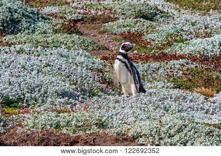 Magellan (Magellanic) Penguin - Colony of Magellanic Penguins (Spheniscus magellanicus) at Seno Otway close to Punta Arenas in Patagonia, Chile