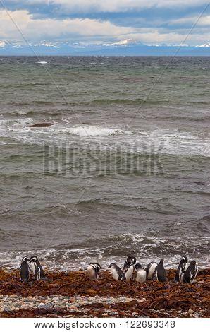 Colony of Magellanic Penguins (Spheniscus magellanicus) at Seno Otway close to Punta Arenas in Patagonia Chile
