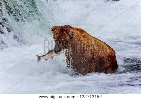 Grizzly Bear Just Caught Salmon Fish, Katmai National Park, Alaska, Usa