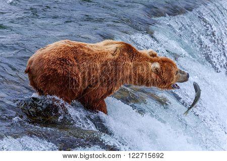 Grizzly Bear Is Trying To Catch Salmon, Katmai National Park, Alaska, Usa