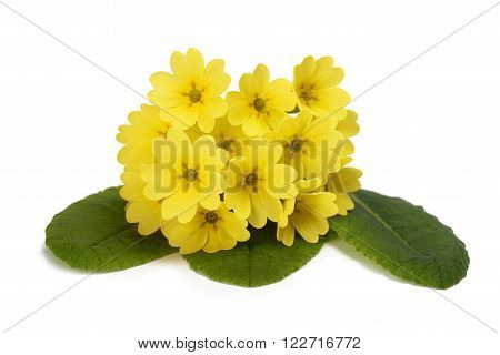 Primrose flowers  isolated on white background. Primula veris. poster