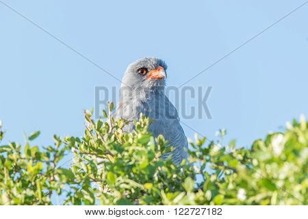 A Southern Pale Chanting Goshawk, Melierax canorus, in the Addo Elephant National Park of South Africa