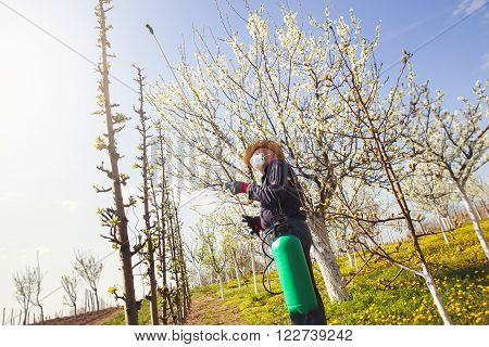Gardener applying an insecticide/a fertilizer to his fruit shrubs using a sprayer
