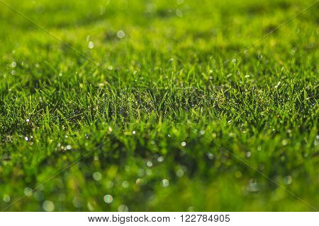 Green grass on a sunny meadow morning sparkling dew water drops close up macro photo