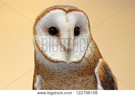 A Barn Owl (Tyto alba) close up on the head in front view.