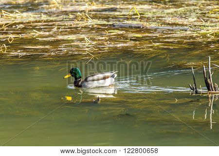 Mallard in wetland in fernan Lake in Idaho.