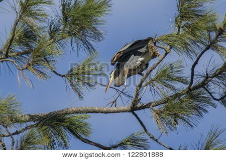 A great blue heron is bringing a stick in to build a nest in the tree in Fernan Idaho.