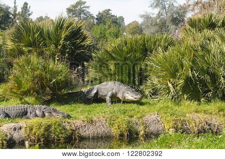 Alligators (alligator mississippiensis)  by a pool