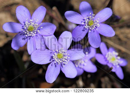 Anemone hepatica blooming in the forest. Spring flowers. ** Note: Shallow depth of field