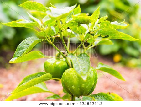 Growing the bell peppers (capsicum). Unripe peppers in the vegetable garden.