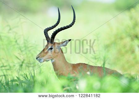Antelopes - African Wildlife Background