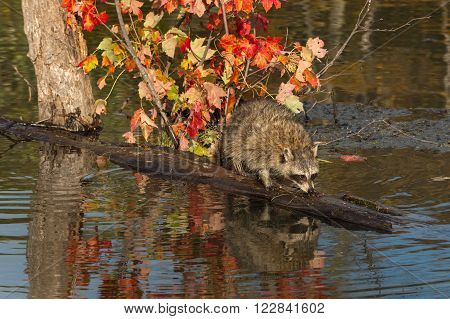 Raccoon (Procyon lotor) Sniffs at Log in Pond - captive animal