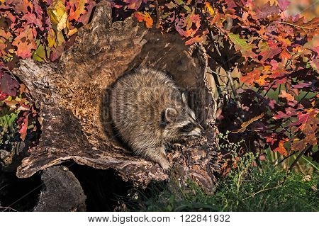 Raccoon (Procyon lotor) in Hollow Log - captive animal