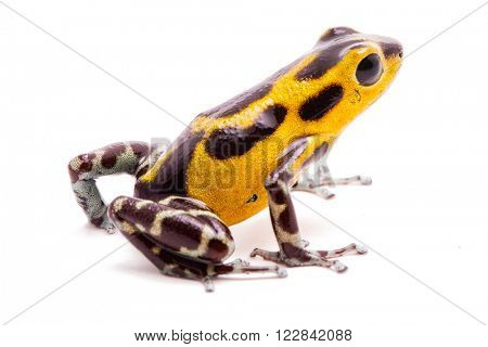 Yellow poison dart frog from the Panama rain forest. Oophaga pumilio (Rambala), a poisonous animal isolated on white.