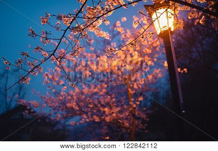 Pink cheery blossoms under the light of street lamp before dawn ** Note: Shallow depth of field