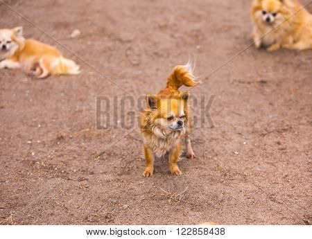 Long haired chiwawa dogs in outdoor. Happy animals