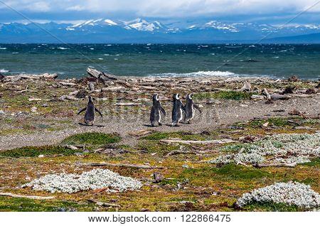 Magellanic Penguins Seno Otway - Punta Arenas Chile