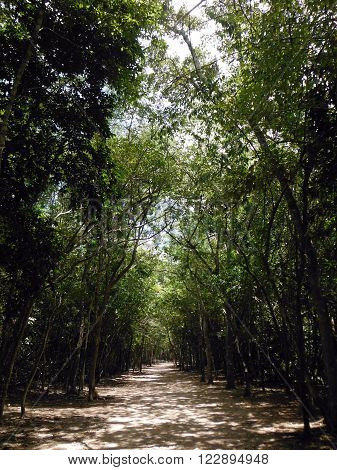 The secondary forest surrounding the large Coba Mayan archeological site in Mexico.