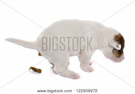 defecate puppy jack russel terrier in front of white background