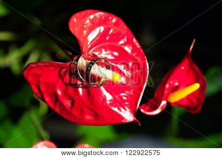 Wedding rings on the pistil of the flower red. Two.
