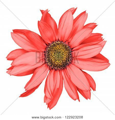 Red Decorative Sunflower Macro Isolated On White