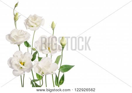 Beautiful Eustoma Flowers Isolated On White Background And Free Space For Text From The Side