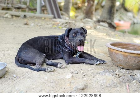 beautiful male american pit bull dog protecting his house