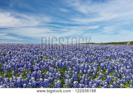 Large Texas bluebonnet field in Muleshoe Bend recreation area, Austin, TX. poster