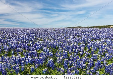 Texas Bluebonnet filed and blue sky background in Muleshoe bend Austin