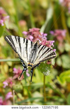 Beautiful swallowtail (Papilio machaon ) on the flower