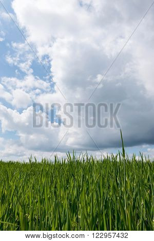 Green cereal field with white clouds in spring