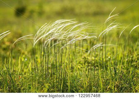 Beautiful stipa field in the wind in spring