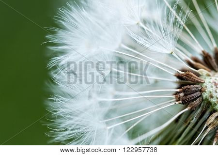 Dandelion inside close up photography in spring ** Note: Soft Focus at 100%, best at smaller sizes