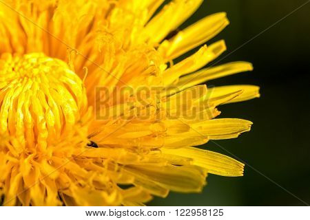 Pretty yellow spring flowers in the meadow (Dandelion)