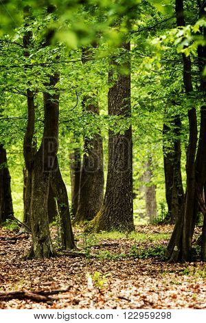 Green forest with oak trees at spring ** Note: Shallow depth of field
