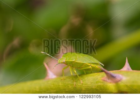 Macro of a large green stink bug resting on a step with thorns.