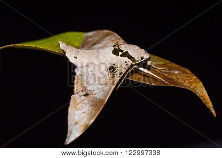 Close up of Ambulyx canescens hawk moth on dried leaf in nature, side view, flash fired