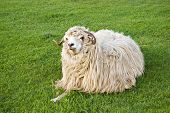 funny sheep staring and eating on grass poster