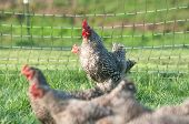 Barred rock pasture raised chickens in a pen poster