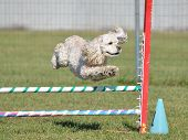 American Cocker Spaniel Leaping Over a Jump at a Dog Agility Trial poster