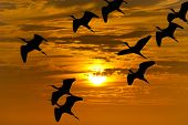 Bird migration silhouette is a flock of birds flying during the migrating season silhouetted against an orange sunset sky. poster