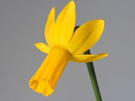 closeup of a bright yellow daffodil with green stem and grey background