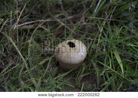 Mature puffball in a field near a macedonian village.