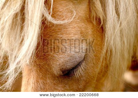 Close-up of beautiful pony mare with closed eyes and manes poster