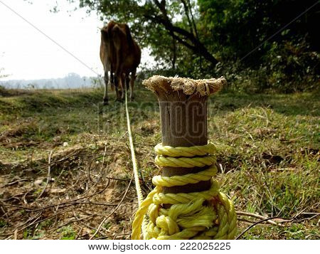 A wood picket macro close up, a cow tied to it with yellow nylon rope and grazing at a field cattle farm poster