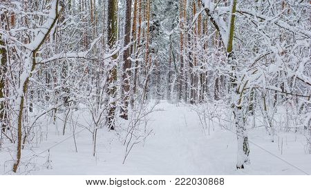 Fragment of the winter forest with deciduous and conifer trees covered with snow after snowfall in a cloudy day