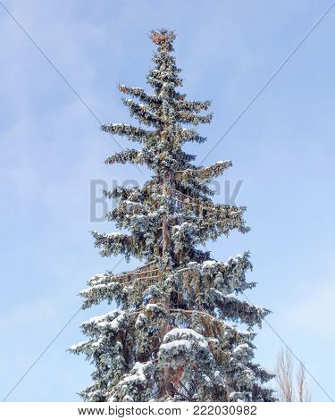 Large solitary old blue spruce with branches partly covered with snow and cones on a background of the sky with blurred clouds