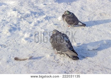 Two city pigeons with dark gray plumage on a square covered with snow and rime in frosty winter morning
